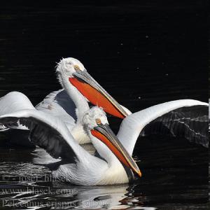 белый-кудрявый-пеликан